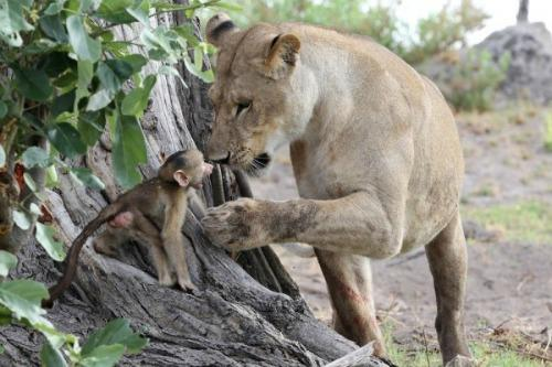 "<a href=""http://newswatch.nationalgeographic.com/2014/04/03/baby-baboons-dramatic-encounter-with-lions-ends-with-a-heroic-twist/"" target=""_blank"">NationalGeographic.com</a>"