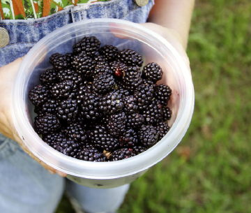 berry-picking-big.jpg