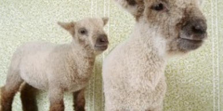two white sheep in a room