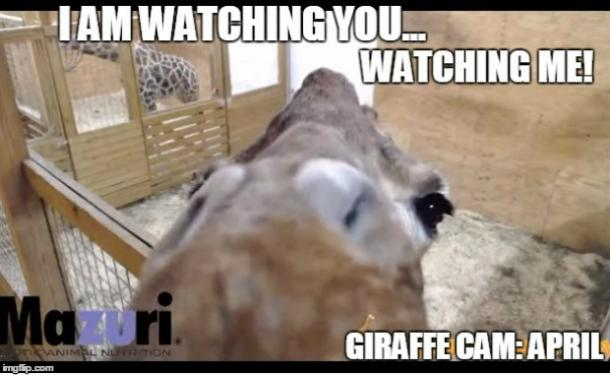 Memes About April The Giraffe That Will Make You LOL