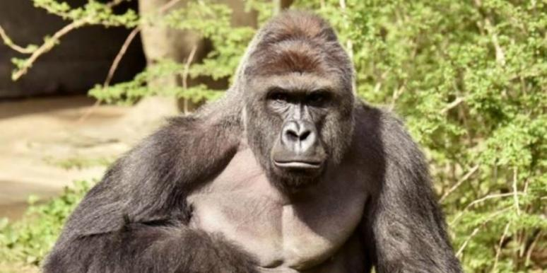 harambe gorilla killed mom