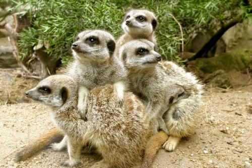 "<a href=""http://king-animal.blogspot.com/2012/08/meerkat.html#.Up4Ay8RDvY4"">king-animal.blogspot.com</a>"