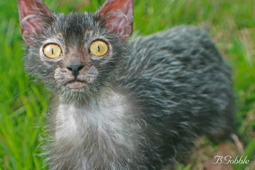 "<a href=""http://www.thefeaturedcreature.com/2014/02/rise-werewolf-cats-new-breed-born.html"" target=""_blank"">thefeaturedcreature.com</a>"