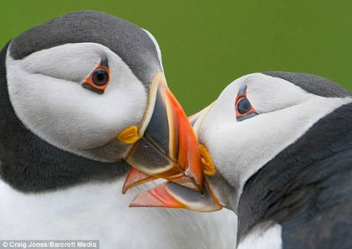 "<a href=""http://www.dailymail.co.uk/news/article-1380341/Puffins-kiss-annual-mating-season.html"">dailymail.co.uk</a>"