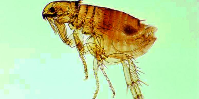 """Super"" Fleas With GIANT PENISES Are Invading Britain"