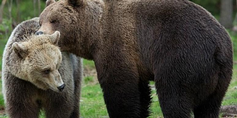 Does Penis Size Matter? Scientists Study Bears Sex Lives