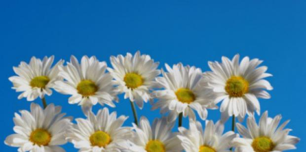 ten daisies blue sky flowers