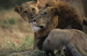 lion love africa furry