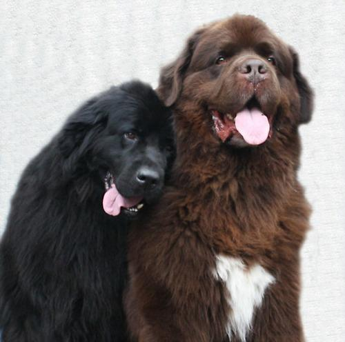"<a href=""http://www.redbubble.com/people/meganboundy/works/2161270-two-newfoundland-dogs-in-love"">redbubble.com</a>"