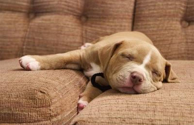 """<a href=""""http://all-puppies.com/adorable-brown-pitbull-puppy-pictures-and-photos.html/brown-pitbull-puppy-pictures"""">all-puppies.com</a>"""
