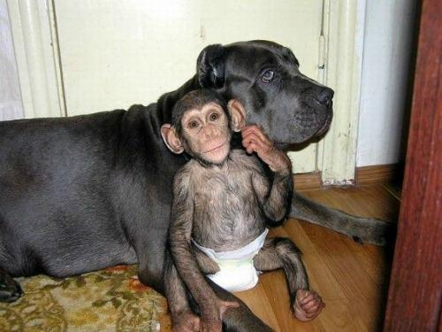 "<a href=""http://www.huffingtonpost.com/2012/07/10/dog-adopts-baby-chimpanzee-photos_n_1662479.html"">huffingtonpost.com</a>"