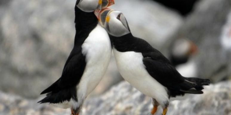 5 Reasons Puffins Win At Love