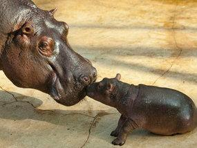 "<a href=""http://www.express.co.uk/news/weird/281101/Baby-hippo-knows-there-s-no-one-better-than-mum"">express.co.uk</a>"