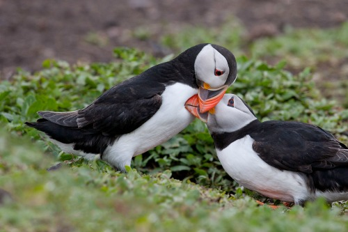 "<a href=""http://www.bill.lockharts.com/blog/in-praise-of-puffins/""> bill.lockharts.com</a>"