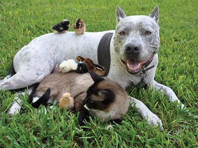 """<a href=""""http://www.alop.org/2013/03/its-time-for-pit-bulls/cute-pit-bull-puppy-loves-kitten-friend-play-dog-cat-animal-adorable-fluffy-chick-baby/"""">alop.org</a>"""