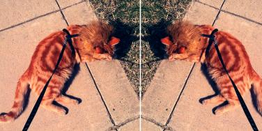 What You Need To Know About Leash Walking A Cat