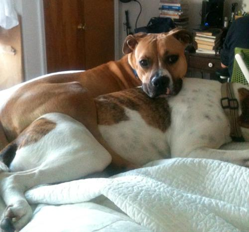 """<a href=""""http://fosterdogsnyc.com/petunia-the-lovely-boxer-mix-rescued/"""">fosterdogsnyc.com</a>"""