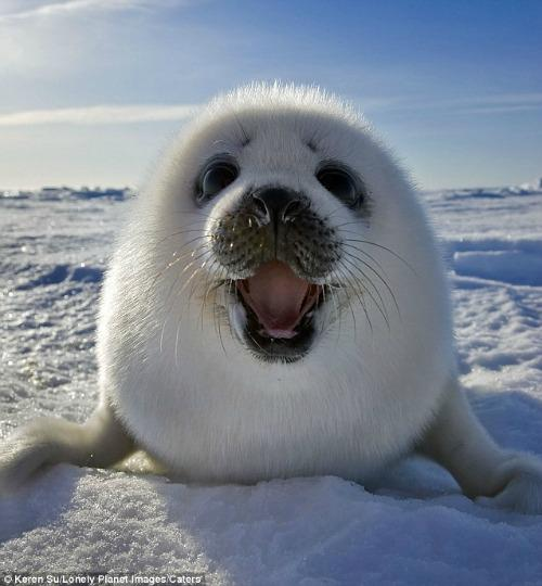 "<a href=""http://www.dailymail.co.uk/news/article-2085835/Meet-incredible-smiling-seal-How-intrepid-photographer-crawled-ice-stomach-amazing-images.html"">dailymail.co.uk</a>"