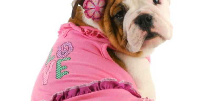 Bulldog playing dress up