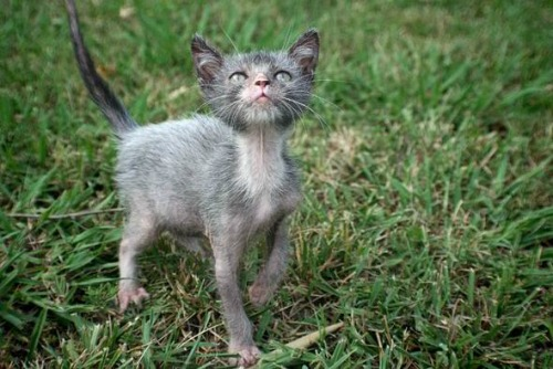 "<a href=""http://www.express.co.uk/news/nature/459443/Lykoi-cats-that-are-breed-to-look-like-WEREWOLVES-are-the-latest-kitten-craze"" target=""_blank"">express.co.uk</a>"