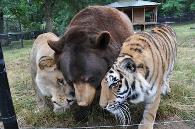 """<a href=""""http://www.globalanimal.org/2013/07/10/unlikely-animal-friends-a-lion-tiger-and-bear-oh-my/100224/"""">globalanimal.org</a>"""
