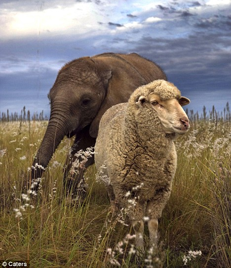 "<a href=""http://www.dailymail.co.uk/news/article-1084689/Pictured-The-baby-elephant-adopted-sheep.html"">dailymail.co.uk</a>"