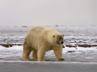 "<a href=""http://www.onearth.org/article/grolar-bears-and-narlugas-rise-of-the-arctic-hybrids"">onearth.org</a>"