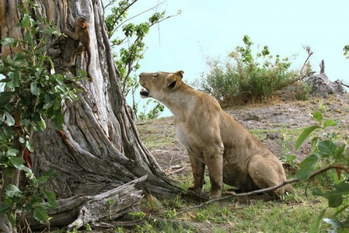 """<a href=""""http://newswatch.nationalgeographic.com/2014/04/03/baby-baboons-dramatic-encounter-with-lions-ends-with-a-heroic-twist/"""" target=""""_blank"""">NationalGeographic.com</a>"""