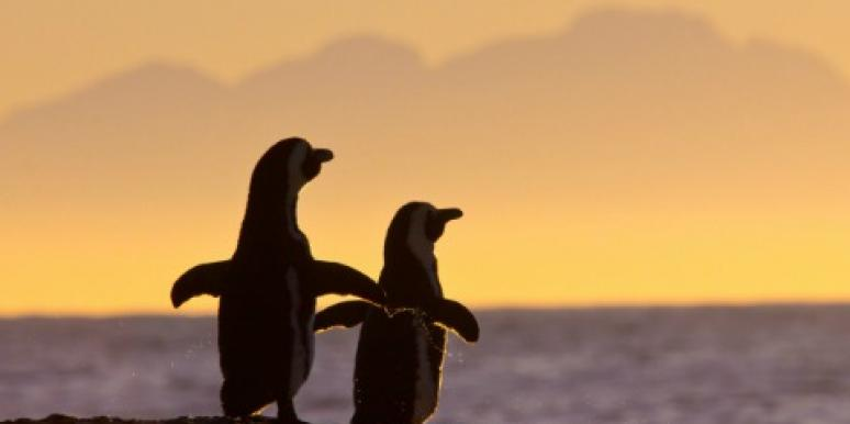 penguins in sunset