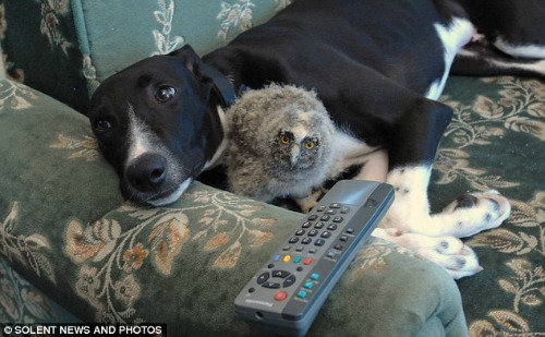 """<a href=""""http://www.dailymail.co.uk/news/article-1047417/Lifes-hoot-Shrek-baby-long-eared-owl-adopted-greyhound-called-Torque.html"""">dailymail.co.uk</a>"""